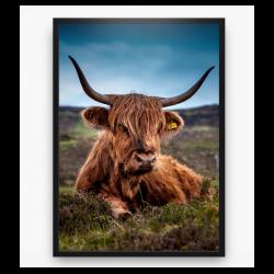 Poster - Schotse Hooglander 2 kleur