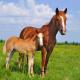 Tuindoek - Tuinposter Paard en veulen 143